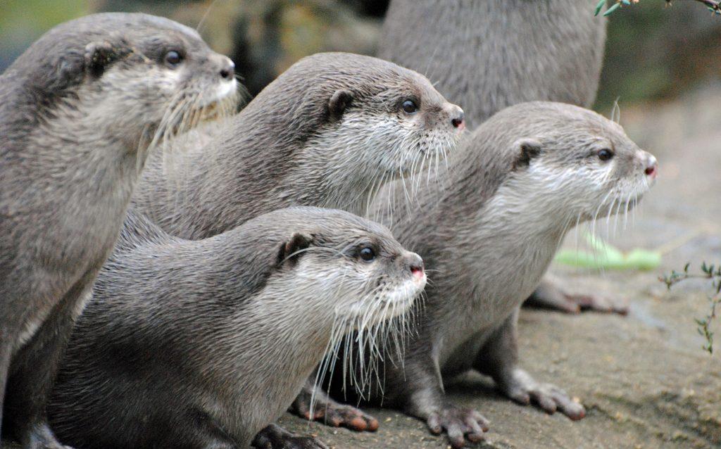 London Zoo: Oriental Short-clawed Otters